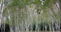 picture of silver birch trees