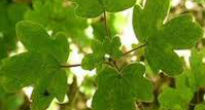 picture of field maple leaf