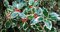 picture of variegated holly