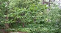 picture of hazel bush