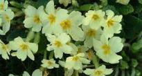 picture of primroses