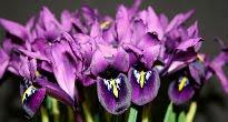 image of iris reticulata 'George'