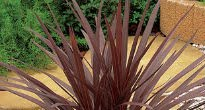 image of cordyline 'torbay red'