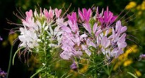 image of Cleome (Spider Flower)