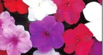 image of Impatiens (Busy Lizzie)