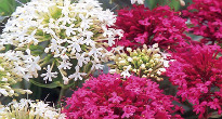 image of Centranthus