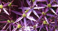 image of starry alliums