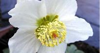 image of Helleborus niger –   Christmas Rose