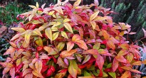image of Nandina domestica 'Firepower' –   Heavenly Bamboo
