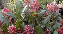 image of Skimmia japonica 'Rubella'