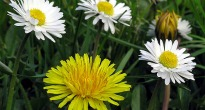 image of Daisies and Dandelions