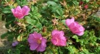 image of rosa rugosa or Japanese Rose