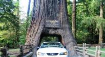 image of giant Redwood tree