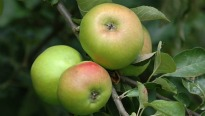 image of apple 'Bramley'