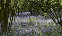 image of bluebell wood