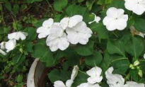 picture of Impatiens 'Carnival White'