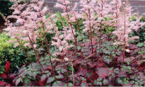 image of Astilbe 'Beauty of Ernst'