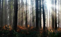 image of dark woodland with tall trees