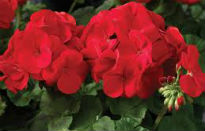 picture of pelargonium 'Maverick Scarlet'
