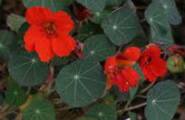 picture of Tropaeolum majus 'Empress of India'