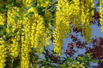 image of Laburnum watereri 'Vossii'