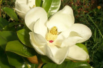 image of Magnolia grandiflora 'Exmouth'