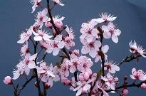 picture of Prunus cerasifera