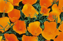 image of Eschscholzia californica