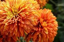 image of Chrysanthemum - Escort