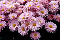 image of Chrysanthemum - Enbee Wedding