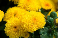 image of Chrysanthemum - Denise