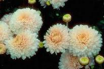 image of Chrysanthemum - Pennine Silver
