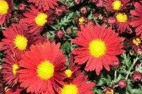 image of Chrysanthemum - Red Charm