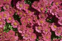 image of Chrysanthemum - Pink Cascade
