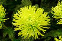 image of Chrysanthemum - Green Mist