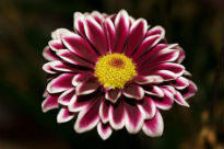 image of Chrysanthemum - Beautiful Lady