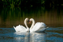 image of swans at London Wetlands Centre