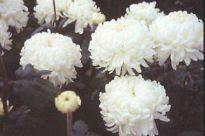 image of Chrysanthemum - Evelyn Bush