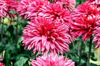 image of Chrysanthemum - Regalia