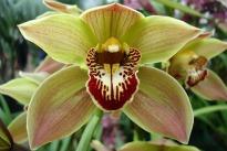 picture of orchid cymbidium