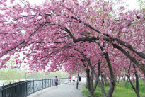 picture of cherry blossom tree