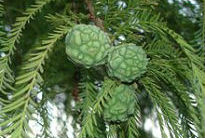 image of Taxodium distichum