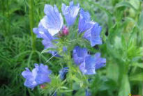 picture of Echium 'Blue Bedder'