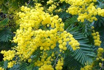 picture of acacia dealbata or mimosa
