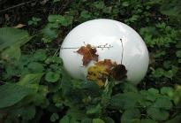 image of Giant Puffball (Calvatia gigantea)