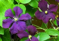 image of Clematis 'Etoile Voilette'
