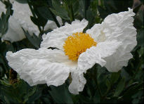 image of Romneya coulteri