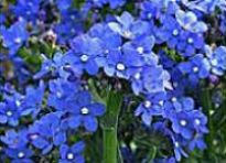 picture of Anchusa capensis 'Blue Angel'