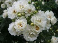 picture of Rambling Rector rose