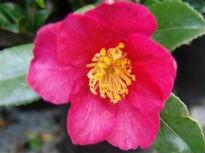 image of Camellia sasanqua